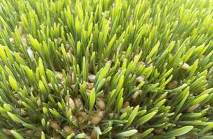 Brotes de trigo joven, hierba verde, vista superior colección de foto