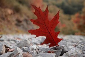 red maple leaf in autumn season photo