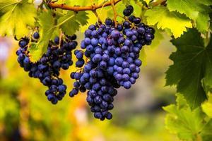 autumn grapes five photo