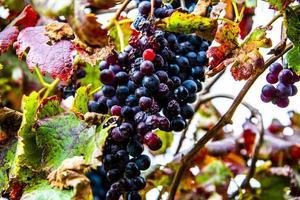 autumn grapes two photo