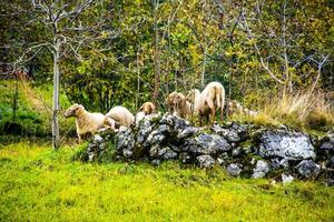 sheep grazing on top of a pile of stones photo