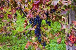 autumn grapes four photo