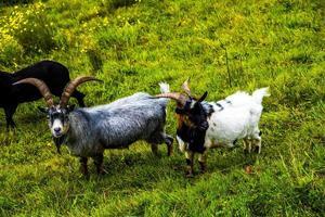 cabras en los pastos foto