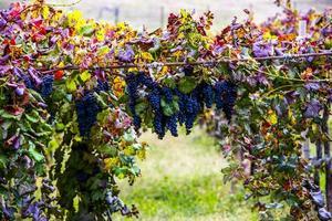 autumn grapes three photo