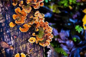 hongo parásito en el tronco foto