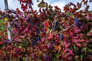 autumn grapes one photo