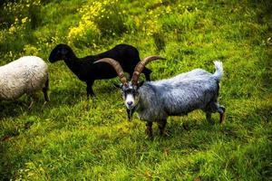 cabras en los pastos uno foto