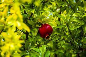 granada en el árbol uno foto