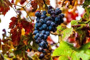 autumn grapes zero photo