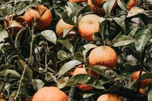 A bunch of oranges on a tree photo