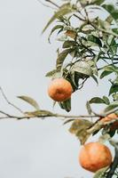 Oranges hanging from the tree photo