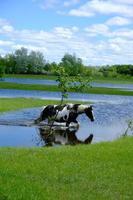 caballos bebiendo en el lugar del agua foto