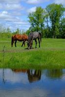 Horse grazing on green grass field photo