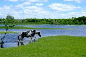 Horses drinking on the water place photo
