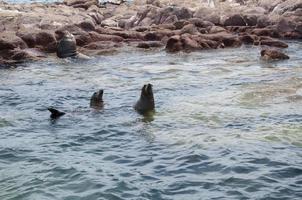 Seals in the Archipielago Isla Espiritu Santo in La Paz photo