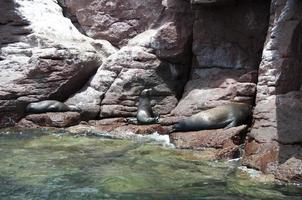 Seals on the archipielago Isla Espiritu Santo in La Paz, Baja California photo