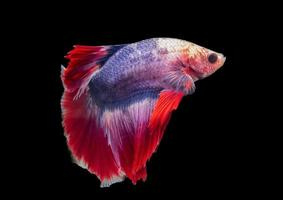 Siamese fighting fish with colorful and swimming style isolated on Black background photo