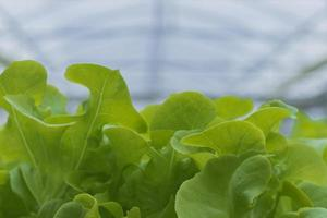 Hydroponic lettuce growth photo