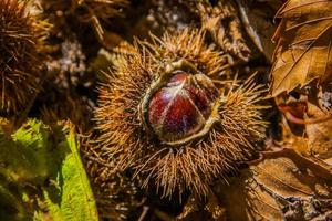 chestnut with hedgehog and yellow leaves one photo