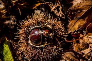 chestnut portrait zero photo