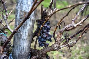 forgotten grapes zero photo