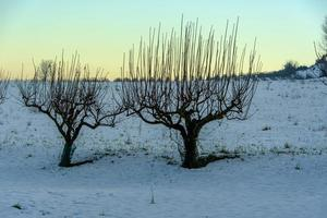 comb trees in the snow photo