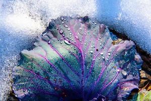 hoja de col en la nieve foto