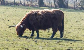 Brown Cow on its own photo