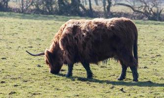Brown Horned Cow photo