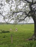 sheep and lamb photo