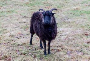 Black Sheep Horns photo