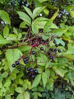 elderberries on a bush photo