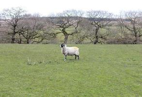 single white sheep in a green field photo