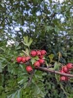 un arbusto de frutos rojos foto