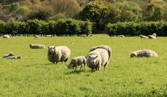 Sheep in a Field photo