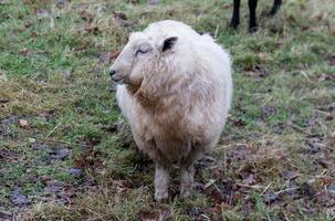 White Sheep Looking Left photo