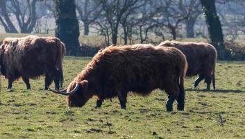 Three Brown Cattle photo