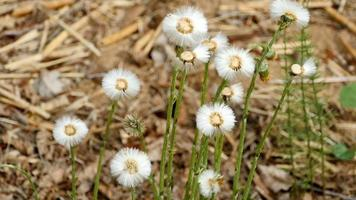 fluffy dandelions swaying in the wind close to video