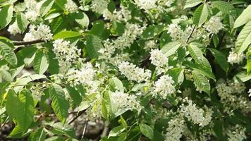 uxuriantly blooming bird cherry with a strong aroma of many white flowers are collected into large florets video