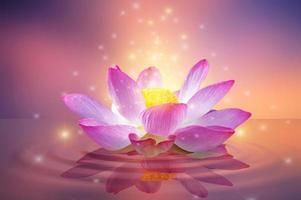 Pink and light purple floating lotus photo