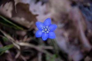 Anemone Hepatica three photo