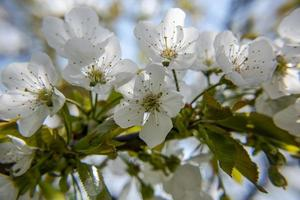 202144 flores de cerezo de montemezzo foto