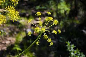 green wild fennel photo