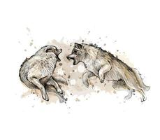 Wolf fight from a splash of watercolor hand drawn sketch Vector illustration of paints