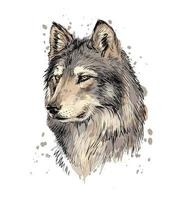 Portrait of a wolf head from a splash of watercolor hand drawn sketch Vector illustration of paints