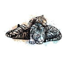 Two tigers yellow and white from a splash of watercolor hand drawn sketch Vector illustration of paints