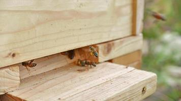 Worker bee brings pollen into the wooden hive photo