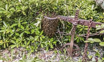 Natural swarm of bees in the countryside photo