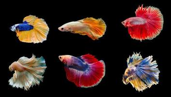 Collection colorful Thai betta fish Siamese fighting fish isolated on black background photo