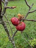 manzanas rojas muertas foto